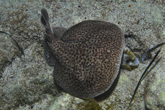 Marbled electric ray Stock Image