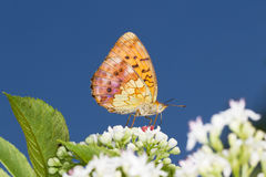 Marbled Fritillary Butterfly (Brenthis daphne) on. A white flower close-up stock photos