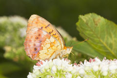 Marbled Fritillary Butterfly (Brenthis daphne) on. A white flower close-up royalty free stock photography