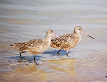 Marbled Godwit Royalty Free Stock Photography