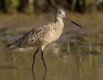 Marbled Godwit Stock Photography