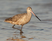 Marbled Godwit Royalty Free Stock Photo
