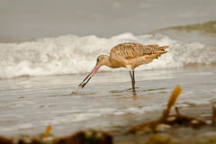 Marbled Godwit on Beach Royalty Free Stock Photos