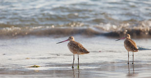 Marbled Godwit at beach Stock Photo