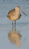 Marbled Godwit in blue water with reflection in wa