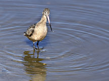 Marbled Godwit, California. A marbled godwit shorebird looking for food in the wetlands of San Diego County along shores of the San Dieguito River, next to the Stock Image