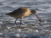 A marbled godwit catches a lugworm