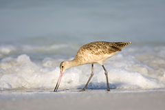 Marbled Godwit feeding in the surf. A Marbled Godwit feeding in the surf Stock Images
