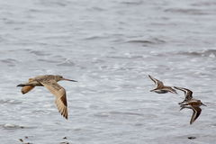 Marbled Godwit flying with other shorebirds. One Marbled Godwit flying with other shorebirds Royalty Free Stock Image