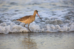Marbled Godwit In Surf Stock Photos