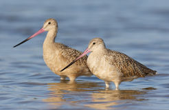 Marbled Godwit, Limosa fedoa Royalty Free Stock Photo