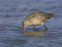 Marbled Godwit, Limosa fedoa Stock Images