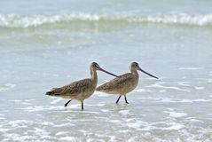 Marbled Godwit (Limosa fedoa) Stock Photography