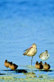 Marbled Godwit, Limosa fedoa Stock Photos
