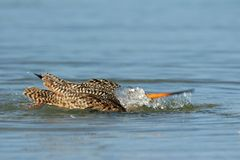 Marbled Godwit bathing in shallow water in Fort De Soto Park, Florida.