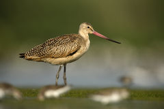 Marbled godwit, Limosa fedoa Royalty Free Stock Photos