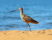 Marbled Godwit Bird