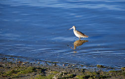 Marbled Godwit in Newport Beach backbay. Image shows a Marbled Godwit (Limosa fedoa) foraging for food in Newport Beach backbay estuary.These birds forage by royalty free stock photos