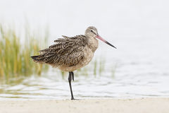 Marbled Godwit Resting on One Leg in a Florida Marsh Royalty Free Stock Photo
