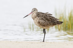 Marbled Godwit Resting on One Leg in a Florida Marsh Royalty Free Stock Photos