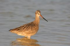 Marbled Godwit wading in shallows of Fort De Soto Park, Florida.