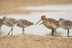 Marbled Godwit and Willets Stock Images