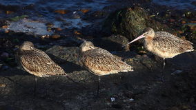 Marbled Godwits rest along the Pacific shore stock footage