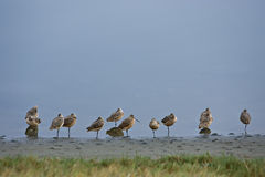 Marbled godwits shorebirds tokeland marina Stock Photo
