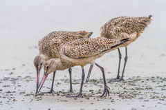Marbled Godwits Royalty Free Stock Photo