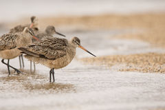 Marbled Godwits and Willet Stock Image