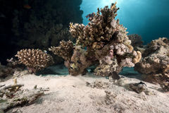 Marbled grouper, ocean and coral Stock Images