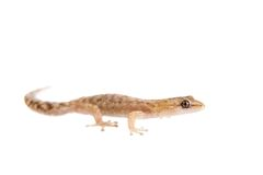 The marbled leaf-toed gecko on white Royalty Free Stock Images