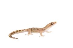 The marbled leaf-toed gecko on white Stock Images