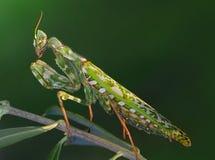 Marbled mantis (Blepharopsis mendica) Stock Image