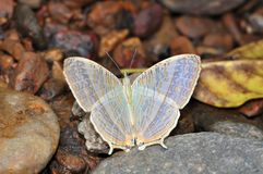 Marbled map butterfly Stock Photography