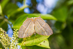 Marbled Map butterfly Royalty Free Stock Photography