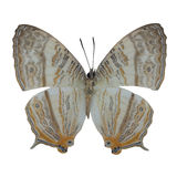 Marbled Map butterfly Stock Photo