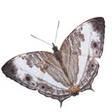Marbled map butterfly isolated Stock Photography