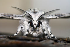 Marbled moth stock image