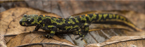Marbled newt on an autumn leaf Royalty Free Stock Images