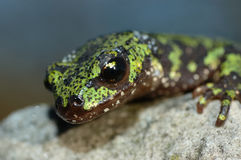 Marbled newt. Portrait of a marbled newt on a rock Royalty Free Stock Images