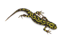 Marbled Newt - Triturus marmoratus Stock Photo