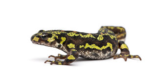 Marbled Newt - Triturus marmoratus Stock Photos