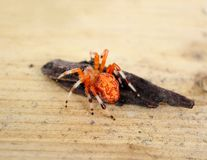 Marbled Orb Weaver Spider Stock Photo