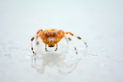 Marbled orb weaver spider face and front view. Close up bright colorful orange marbled orb weaver spider on the glass table selective focus on the eyes Royalty Free Stock Photography