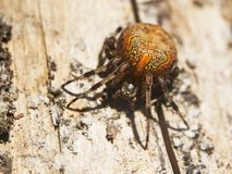 Marbled orb-weaver on a wood surface in the sunlight. Marbled orb-weaver, or garden cross spider, Araneus marmoreus, sits on a wood surface. The orange spider is Stock Images