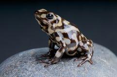 Marbled poison dart frog / Dendrobates auratus Stock Images