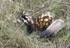 Marbled polecat among grass. Young Marbled polecat among grass royalty free stock image