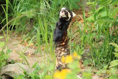 Marbled polecat. Standing on the soil royalty free stock photo