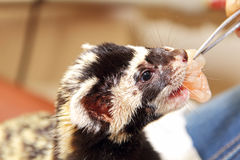 Marbled polecat (Vormela peregusna) feeding by means of tweezers Stock Images